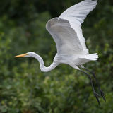 Great White Egret (8)