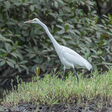 Great White Egret (9)