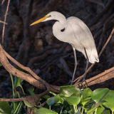 Great White Egret (10)
