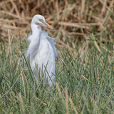 Intermediate Egret (2)