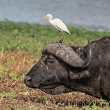 Western Cattle Egret (7)