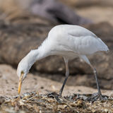 Western Cattle Egret (9)