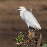 Snowy Egret (4)