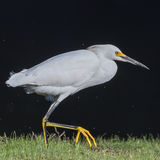 Snowy Egret (5)