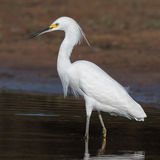 Snowy Egret (6)