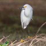 Snowy Egret (7)