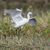 Little Egret (11)