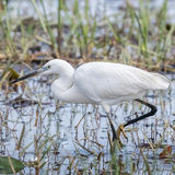 Little Egret (12)