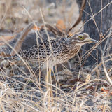 Spotted Thick-knee (1)
