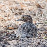 Spotted Thick-knee (2)