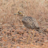 Spotted Thick-knee (3)