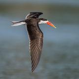 African Skimmer (2)