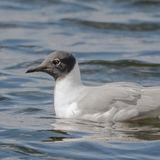 Bonaparte's Gull (9)