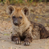 Spotted Hyaena (cub)