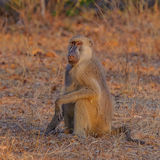 Yellow Baboon (1)