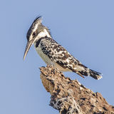 Pied Kingfisher (1)