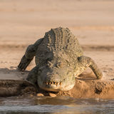 Nile Crocodile (3)