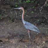 Goliath Heron (1)