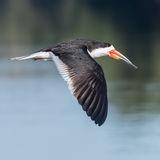 Black Skimmer (11)