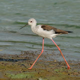 Black-winged Stilt (1)