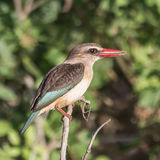 Brown-hooded Kingfisher (1)