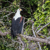 African Fish-Eagle (1)
