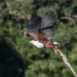 African Fish-Eagle (2)
