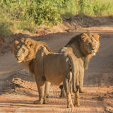 African Lion (6)