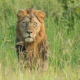 African Lion (7)