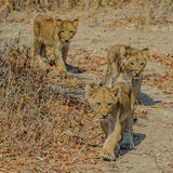 African Lion (8)