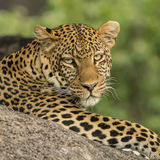 African Leopard (1)