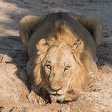 African Lion (11)
