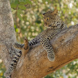 African Leopard (2)