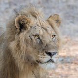 African Lion (12)