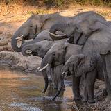 African Elephant (5)