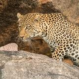 African Leopard (4)