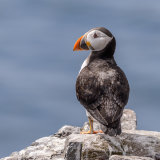 Atlantic Puffin (14)