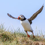 Atlantic Puffin (15)
