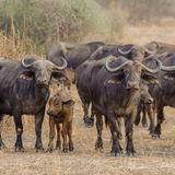 Cape Buffalo (2)