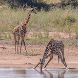 Masai Giraffe (3)