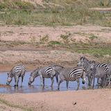 Grant's Zebra (1)