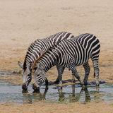 Grant's Zebra (2)
