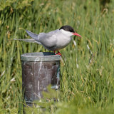 Arctic Tern (3)