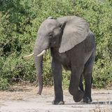 African Elephant (6)