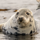 Grey Seal (2)