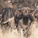 Cape Buffalo (4)