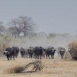Cape Buffalo (1)