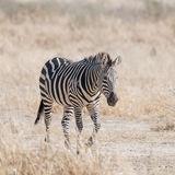 Grant's Zebra (4)