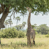 Masai Giraffe (2)