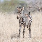Grant's Zebra (5)